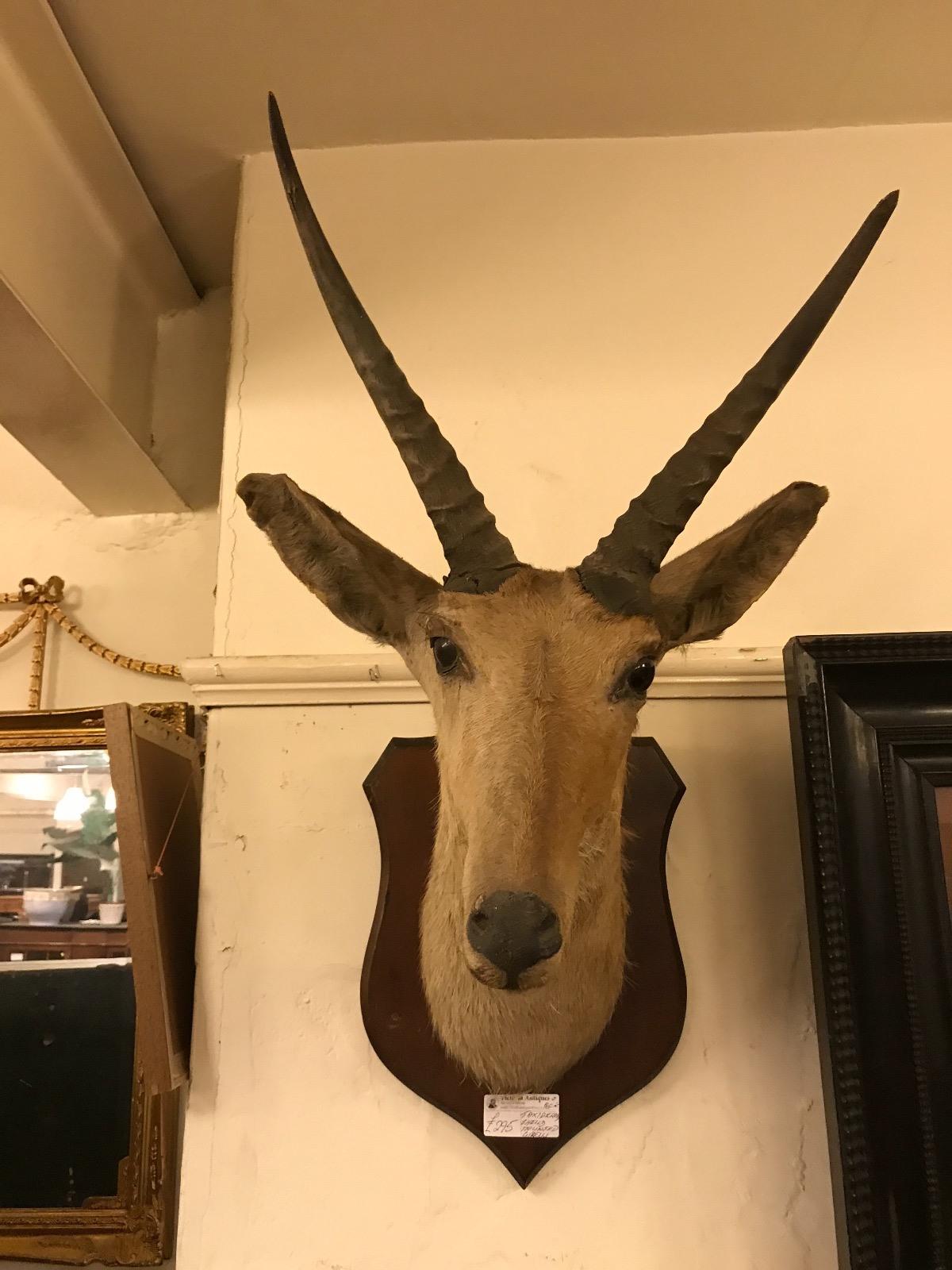 Taxidermy Mounted Gazelle (1 of 1)