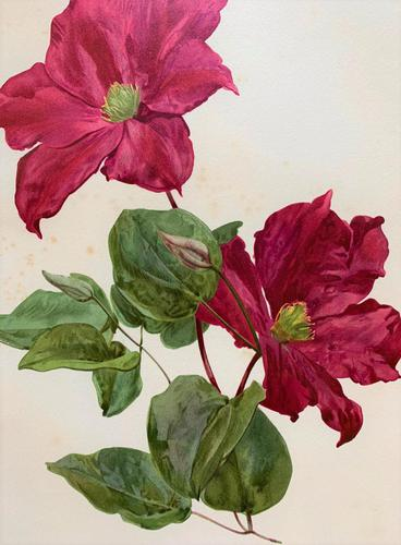 Sublime Claret Clematis Chromolithograph. Henry G Moon. 1903 (1 of 4)