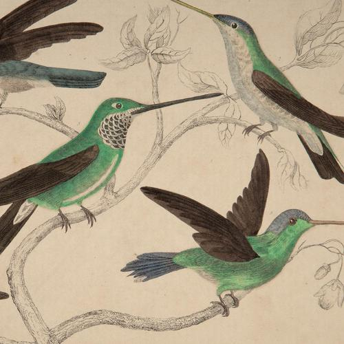 Hand Coloured 'Glorious Hummingbird Two' Lithograph. Goldsmith 1875 (1 of 4)