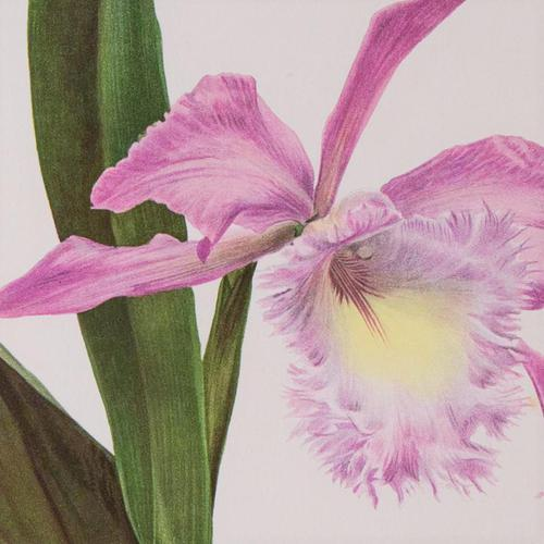 Extraordinary 'Empress of Russia Orchid' Chromolithograph 1903 (1 of 4)