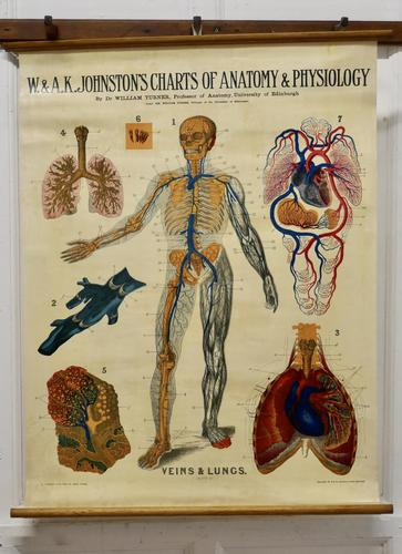 """Large University Anatomical Chart """"Veins and Lungs"""" by Turner (1 of 6)"""