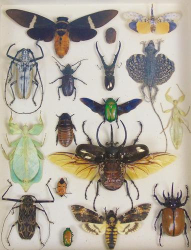 Fabulous Antique Collection Cased Butterfly & Insect Specimens (1 of 8)