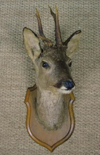 Taxidermy Roe Deer (1 of 4)