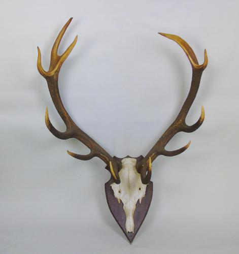 Large Set of Antique Antlers on Shield Hunting Trophy (1 of 6)