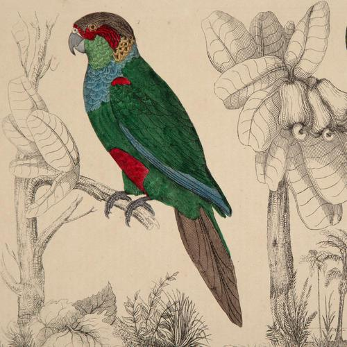 Hand Coloured 'Paraquettes' Lithograph. Goldsmith 1875 (1 of 5)