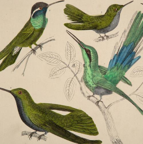 Hand Coloured 'Glorious Hummingbird' Lithograph. Goldsmith 1875 (1 of 4)