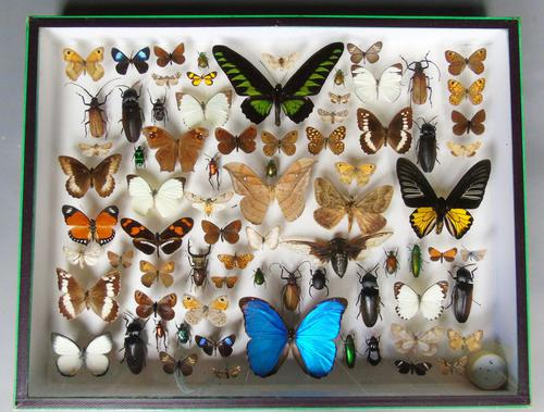 Large Antique Butterfly & Insect Specimen Case (1 of 7)