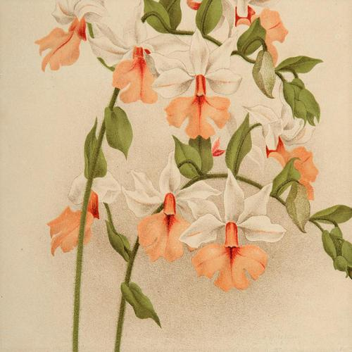Sophisticated Calanthe Regnieri Orchid Chromolithograph. Robinson. 1871-1881 (1 of 3)