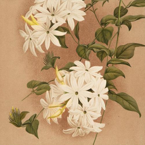 Sophisticated Jasminium Pubescens Chromolithograph. Robinson. 1871-1881 (1 of 3)