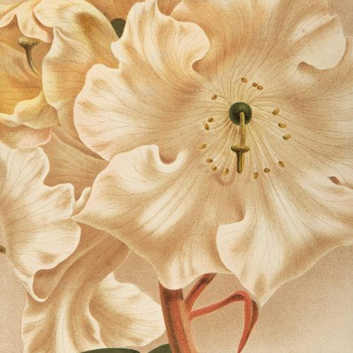 Astonishing Rhododendron Auckland Chromolithograph. Robinson. 1871-1881 (1 of 3)