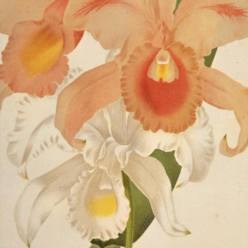 Magnificent Cattleya Trianae Orchid Chromolithograph. Robinson. 1871-1881 (1 of 3)