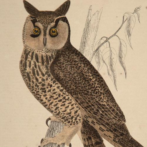Hand Coloured 'Hunting Owl' Lithograph. Goldsmith 1875 (1 of 4)