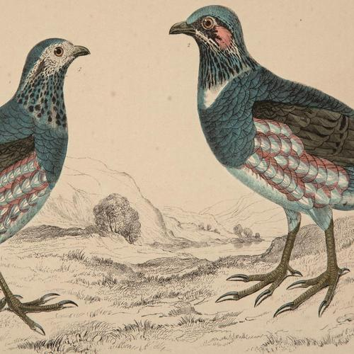 Hand Coloured 'Ground Bird Two' Lithograph. Goldsmith 1875 (1 of 4)
