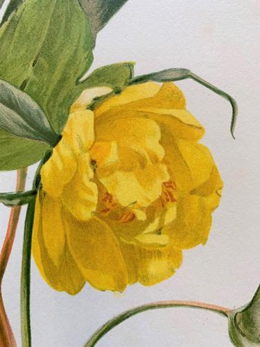 Elegant 'Yellow Peonia' Chromolithograph 1903 (1 of 4)