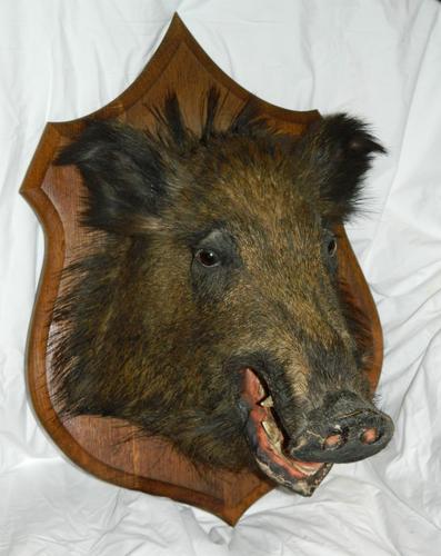 Taxidermy Boars Head (1 of 5)
