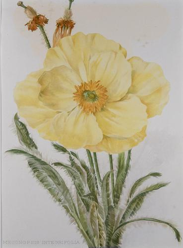 Meconopsis Integrifolia Chromolithograph Henry G Moon. 1903 (1 of 4)