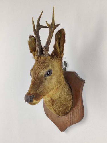 Mounted Roe Deer's Head (1 of 5)