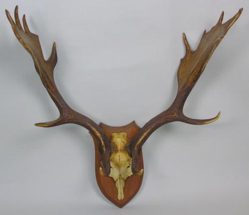 Antique Antlers on Solid Oak Shield (1 of 7)