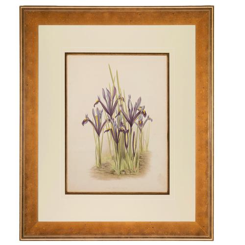 Iris Reticulata Chromolithograph. Robinson. The Garden 1871-1881 (1 of 4)