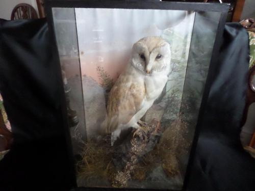 Lovely Barn Owl on a Good Setting & in a good Glass Case - Hand Painted Background (1 of 4)