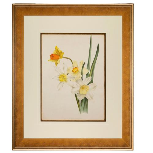 Hybrid Narcissi Group Chromolithograph. Robinson. The Garden 1871-1881 (1 of 4)