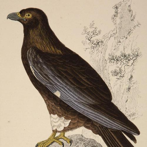 Hand Coloured 'Booted Eagle' Lithograph. Goldsmith 1875 (1 of 4)