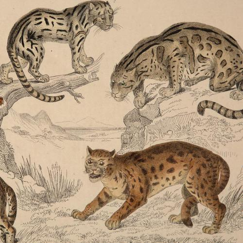Hand Coloured 'Big Cats' Lithograph. Goldsmith 1875 (1 of 4)