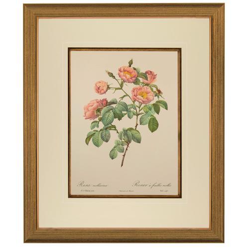 Rosa Mollissima. Pierre Joseph Redoute, Lithograph 1954 (1 of 3)