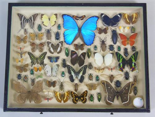 Good Antique Butterfly & Insect Specimens Collection (1 of 7)