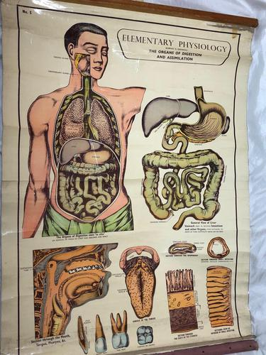 Vintage Medical Anatomical Elementary Physiology Chart Poster Early Arnold No 5 (1 of 19)