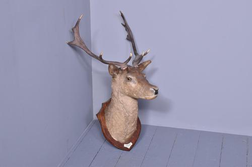Mounted Red Deer Head (1 of 5)