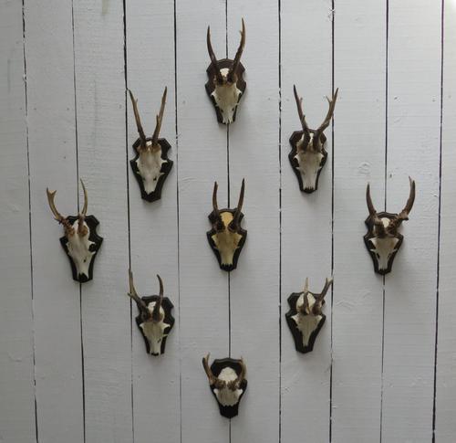 European Roe Deer Antlers (1 of 7)