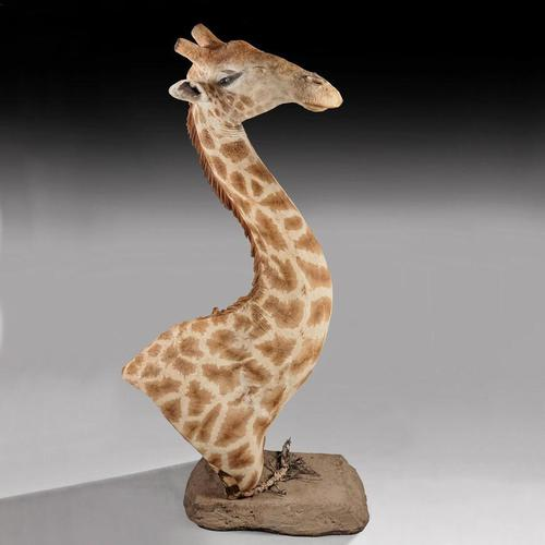 Rare And Extremely Well Prepared Late 20th Century Taxidermy African Bull Giraffe (1 of 14)