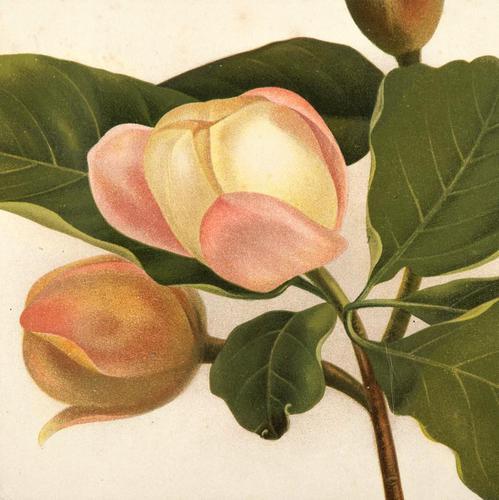 Magnolia Parviflore Chromolithograh. Robinson. 1871-1881 (1 of 3)