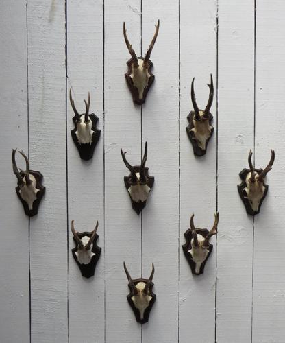 Roe Deer Antlers (1 of 7)