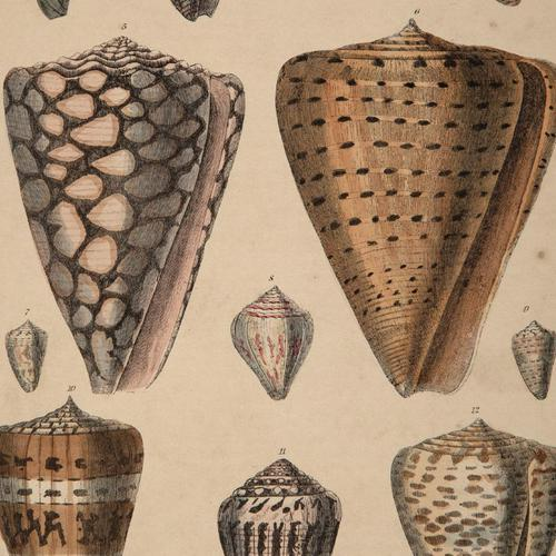 Hand Coloured 'Seashells One' Lithograph. Goldsmith 1875 (1 of 4)