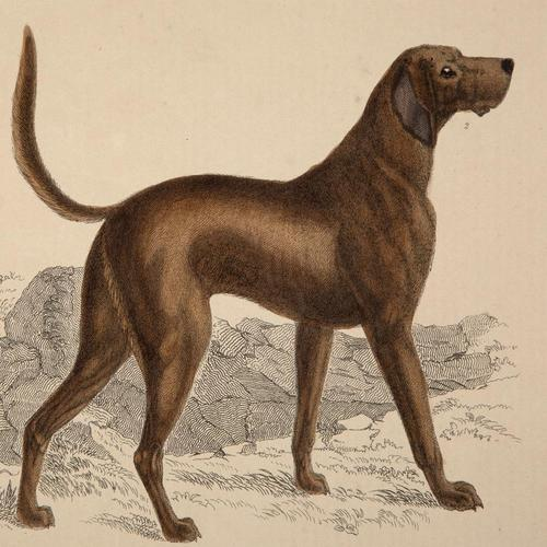 Hand Coloured 'Hound' Lithograph. Goldsmith 1875 (1 of 4)
