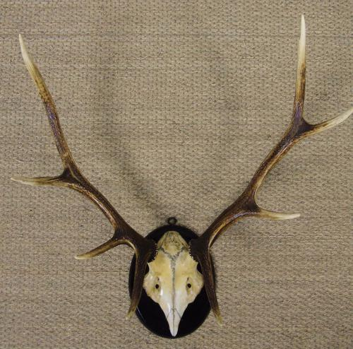 Antique Antlers on Shield (1 of 5)