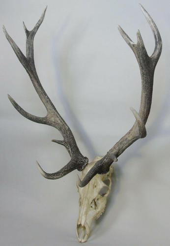 Impressive Hunting Trophy Set of Antlers (1 of 6)