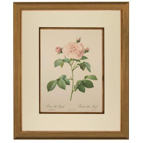 Rosa Alba Regalis Lithograph. After Pierre-Joseph Redoute. 1951 (1 of 4)