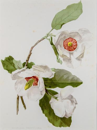 Beautiful 'White Magnolias' Chromolithograph. Henry G Moon. 1903 (1 of 4)