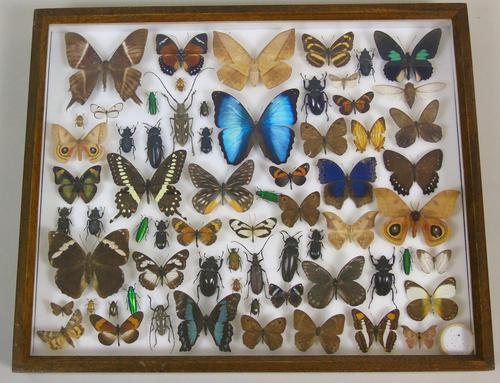 Good Antique Butterfly & Insect Specimens Collection (1 of 8)