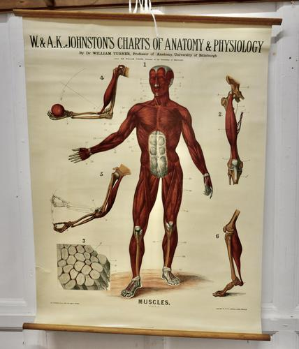 """Large University Anatomical Chart """"Muscles"""" by Turner (1 of 7)"""