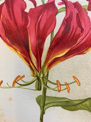 Beautiful 'Gloriana Rothschildiana' Rare Chromolithograph 1903 (1 of 4)