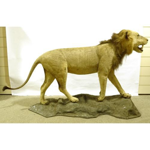 Taxidermy - Lion, Early 20th Century, on Naturalistic Base (1 of 2)