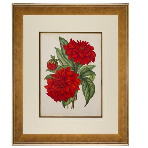 Cactus Dahlia Chromolithograph. Robinson. The Garden 1871-1881 (1 of 4)