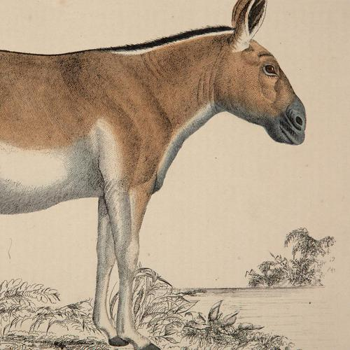 Hand Coloured 'Kiang' Lithograph. Goldsmith 1875 (1 of 4)