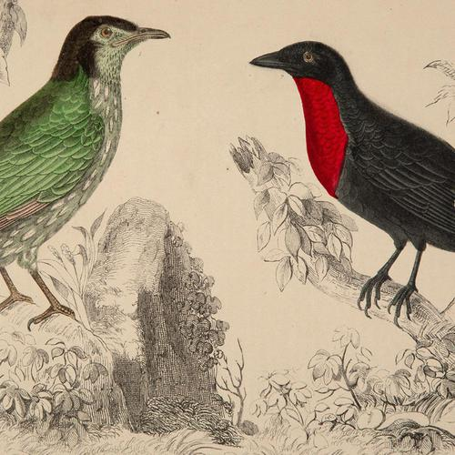 Hand Coloured 'Crimson Throat' Lithograph. Goldsmith 1875 (1 of 4)
