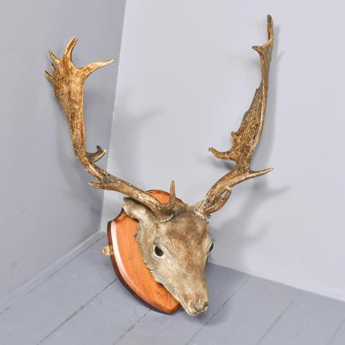 Taxidermist Mounted Red Deer Head (1 of 4)
