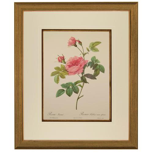 Rosa Inermis Lithograph. After Pierre Joseph Redoute 1954 (1 of 3)